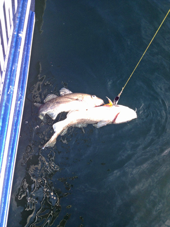 Alaska Cod Fishing Charters in Whittier With Crazy Rays Adventures