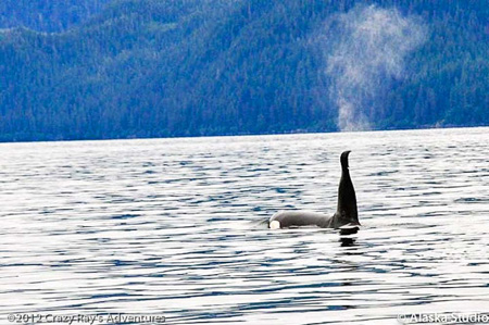 Prince William Sound Alaska Eco Tours Crazy Rays Adventures Killer Whales