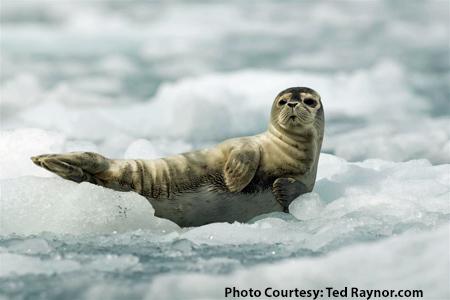 Alaska-Harbor-Seal