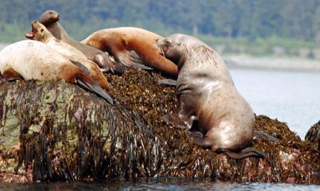 Prince William Sound Alaska Eco Tours Crazy Rays Adventures Sea lions